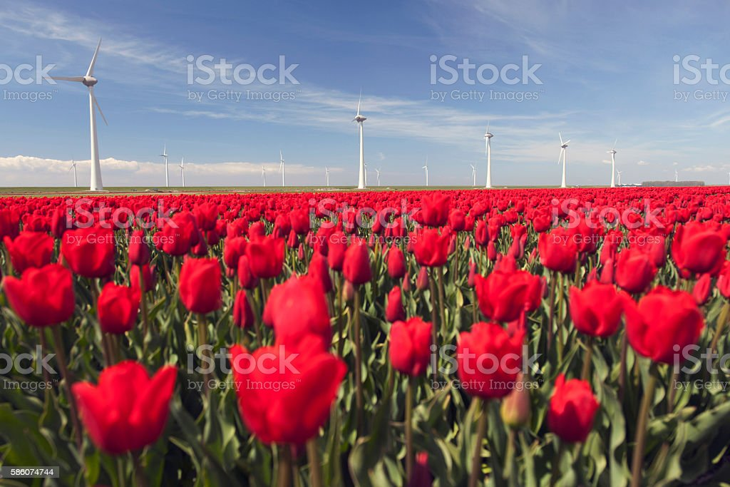 wind turbines against blue sky and red tulip field stock photo