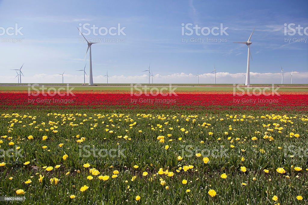 wind turbines against blue sky and yellow red tulip field stock photo
