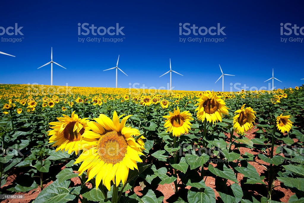 Wind turbines and sunflowers royalty-free stock photo