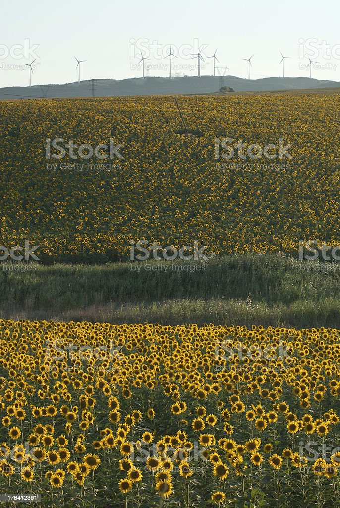 Wind Turbines and Sunflowers stock photo
