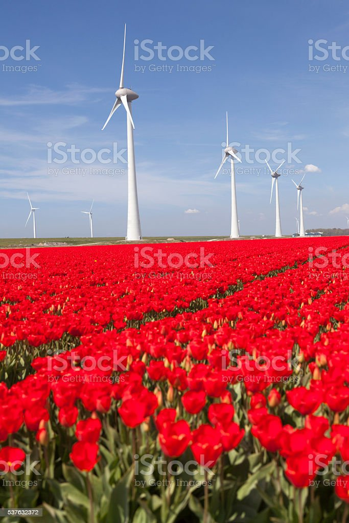 wind turbines blue sky and red tulip field in holland stock photo