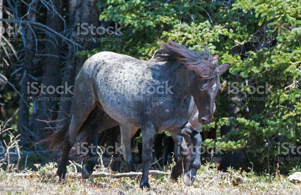 Windblown Blue Roan Band Stallion in the Pryor Mountains stock photo