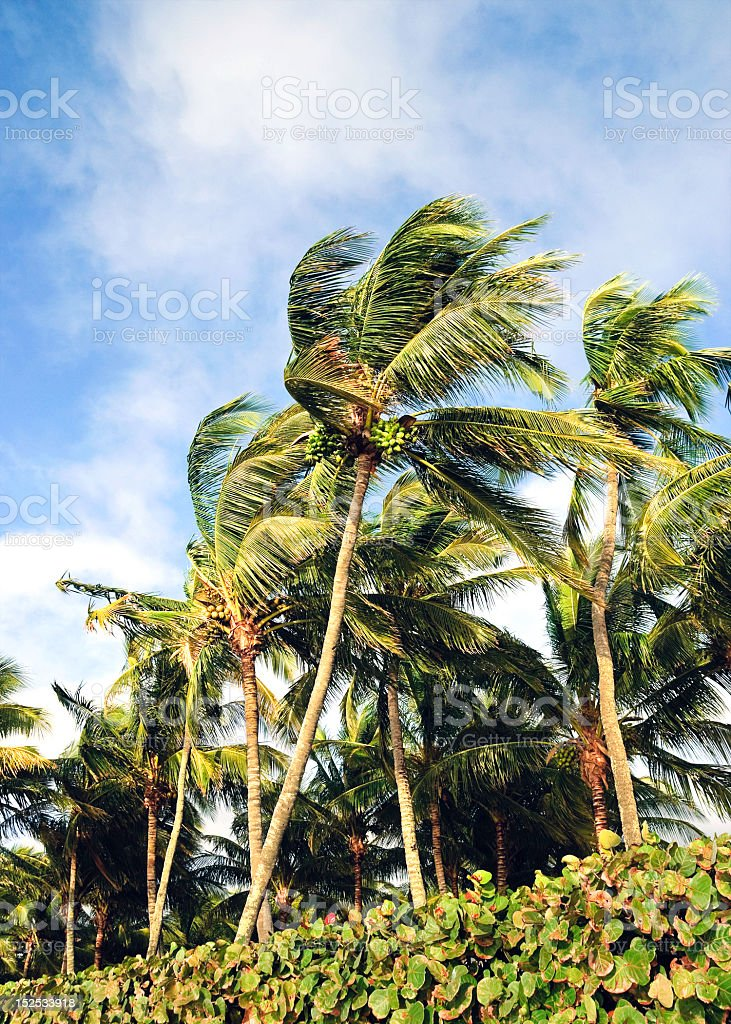 Windblown Coconut Palms stock photo