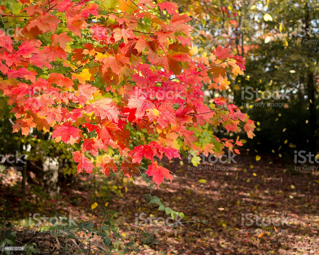 Windblown Leaves stock photo
