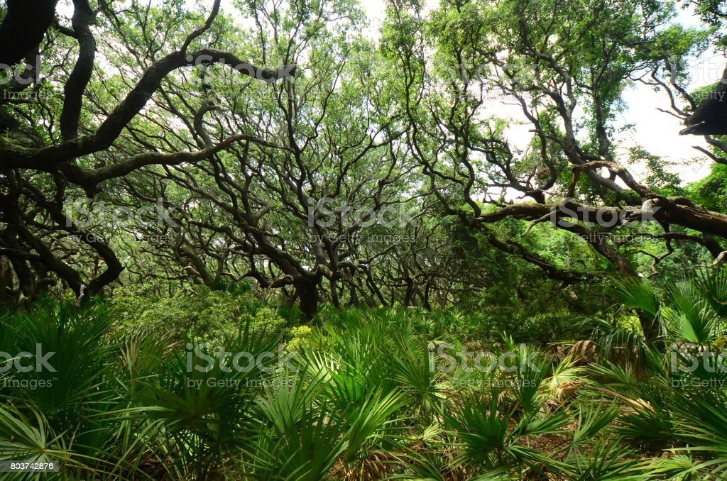 Forest of oaks, leaning from ages of prevailing wind, with amazing...