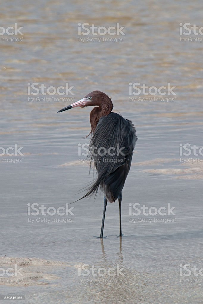 Windblown Mexican Reddish Egret in Chacmuchuk Lagoon Cancun Mexico stock photo