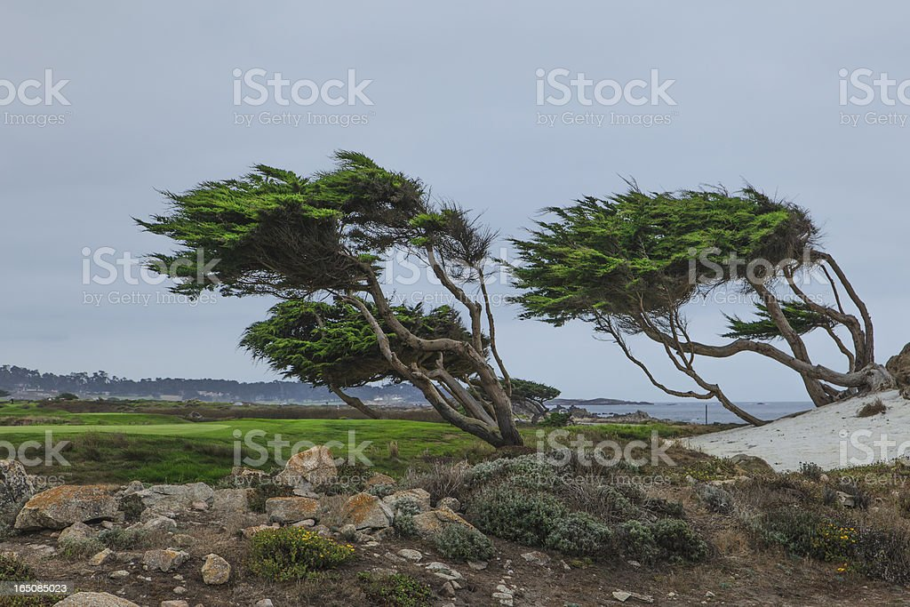 Windblown trees at Pebble Beach Ca. stock photo