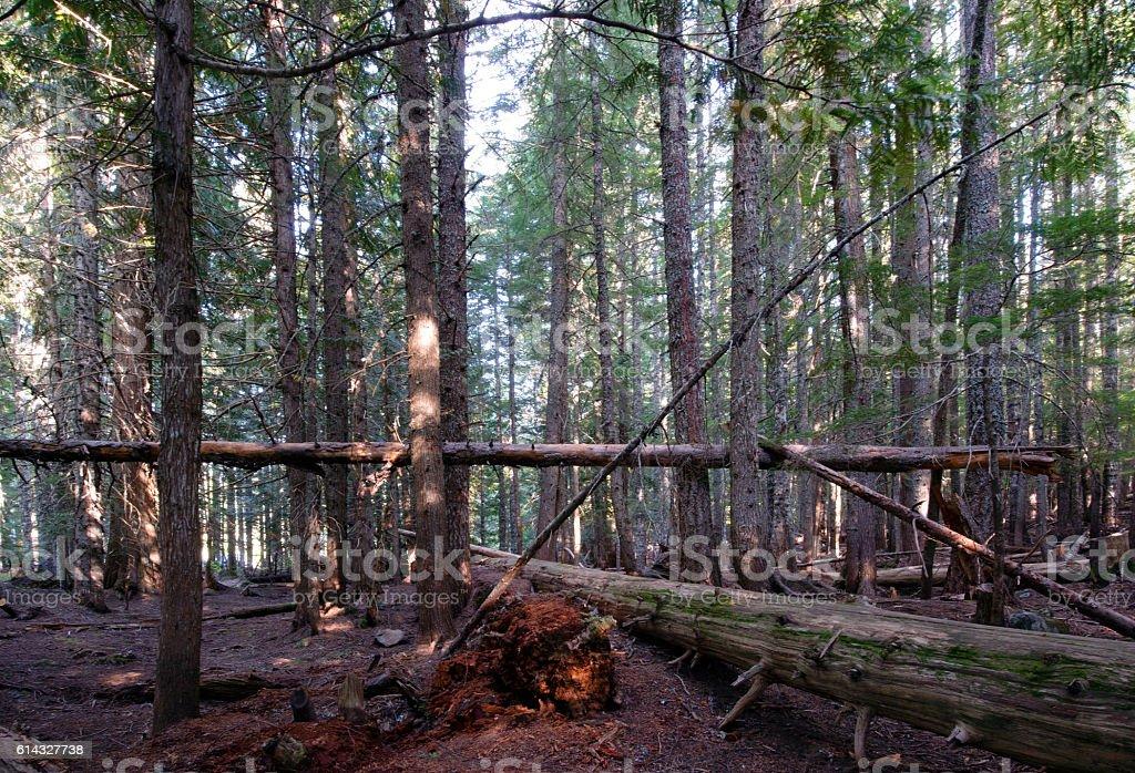 Windbreak in the old coniferous wild forest stock photo