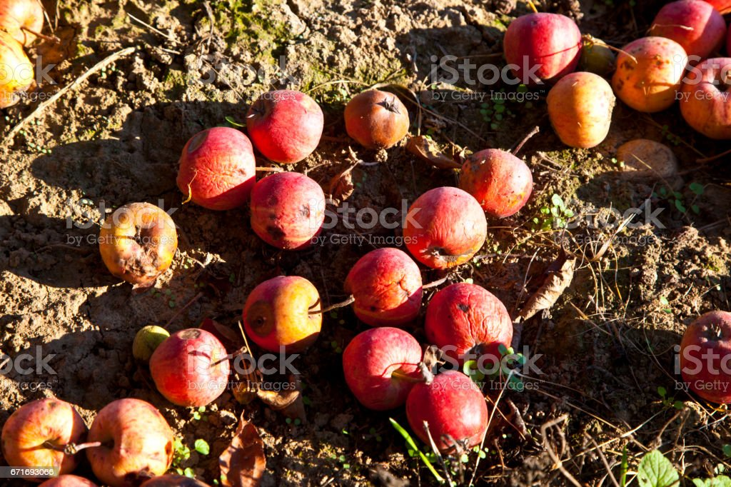 windfall fruits on the meadow stock photo