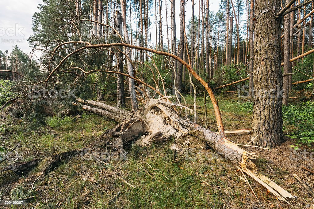 Windfall in forest. Storm damage. stock photo