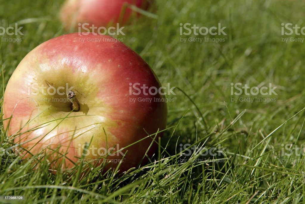 Windfalls apple stock photo