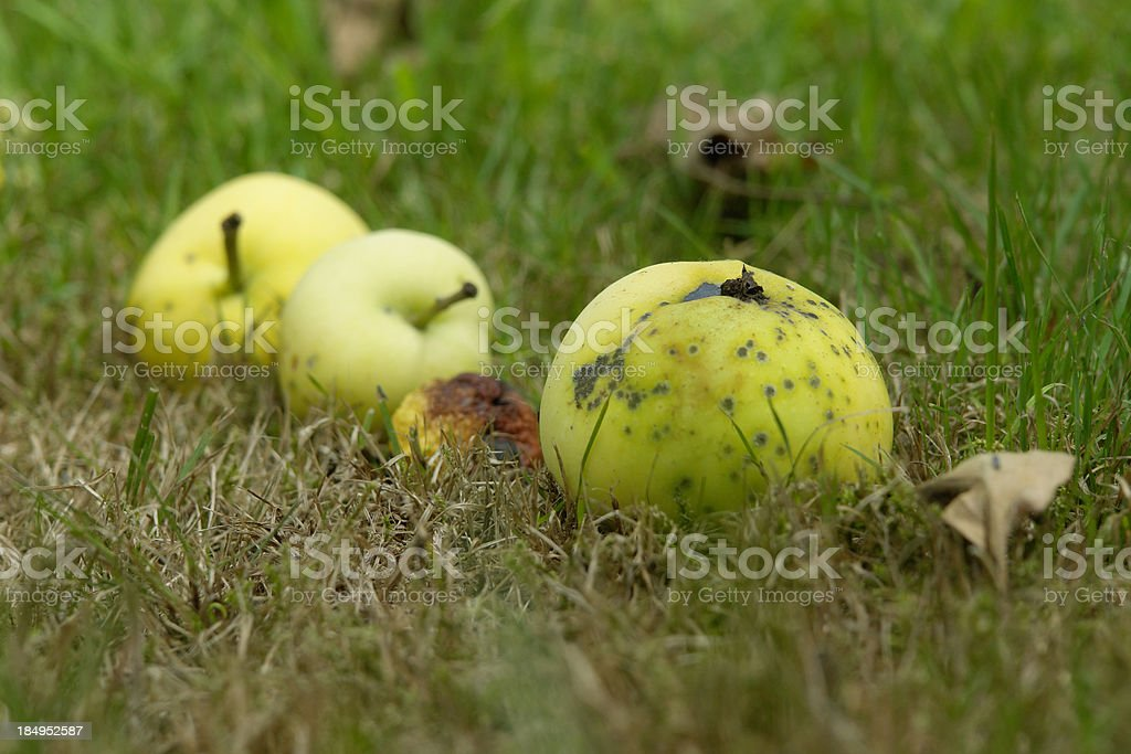 Windfalls: three apples royalty-free stock photo
