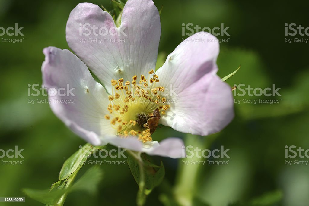 Windflower royalty-free stock photo