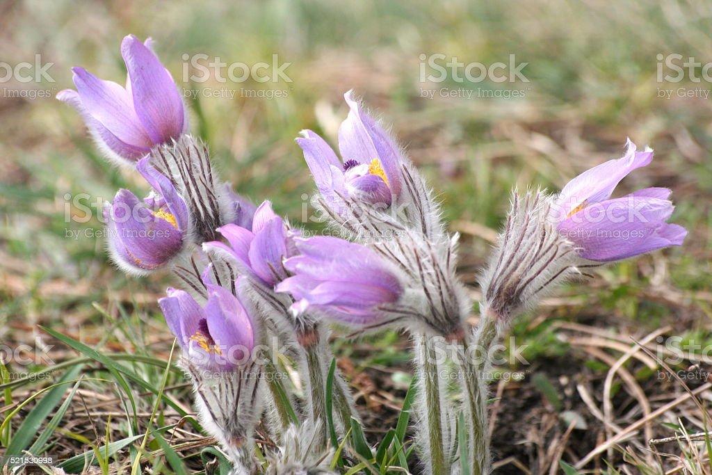 Windflower stock photo