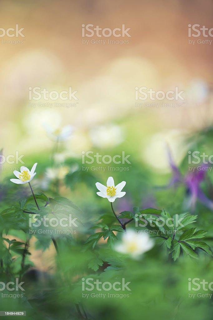 Windflowers royalty-free stock photo