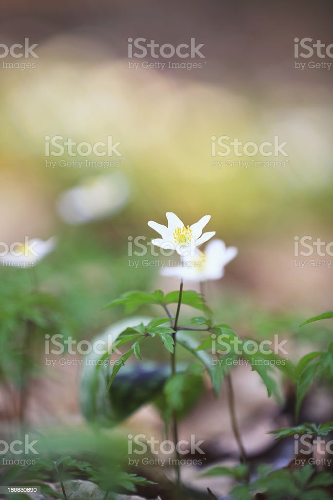 Windflowers royalty-free stock photo