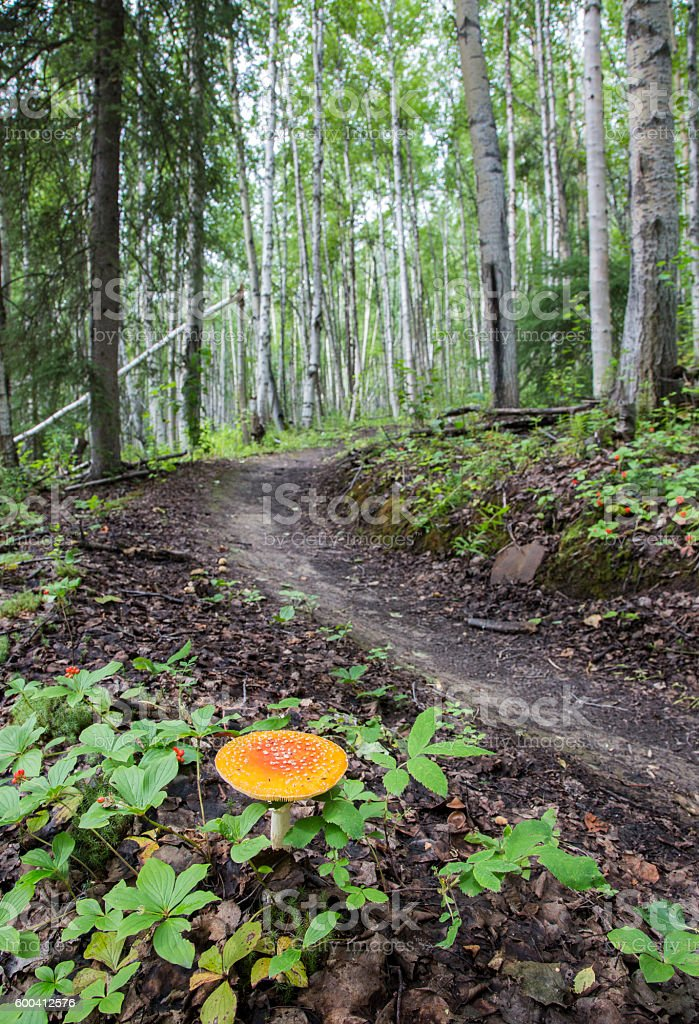 Winding Foot Path through Birch Tree Forest stock photo