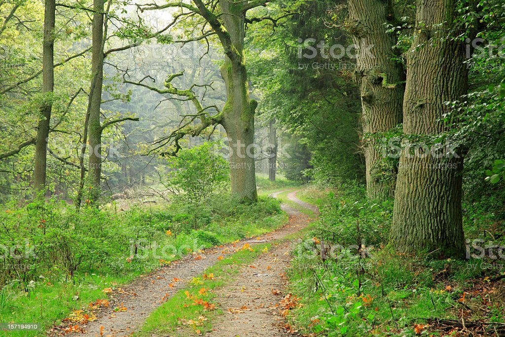 Winding Path through Misty Forest royalty-free stock photo
