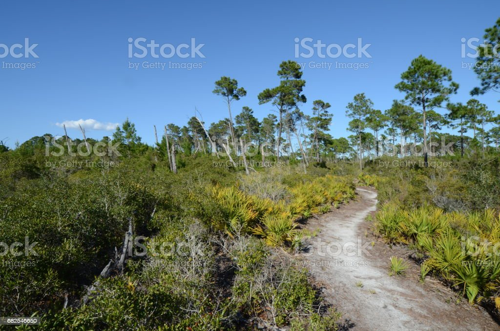 Winding trail through pine forest with saw palmetto stock photo