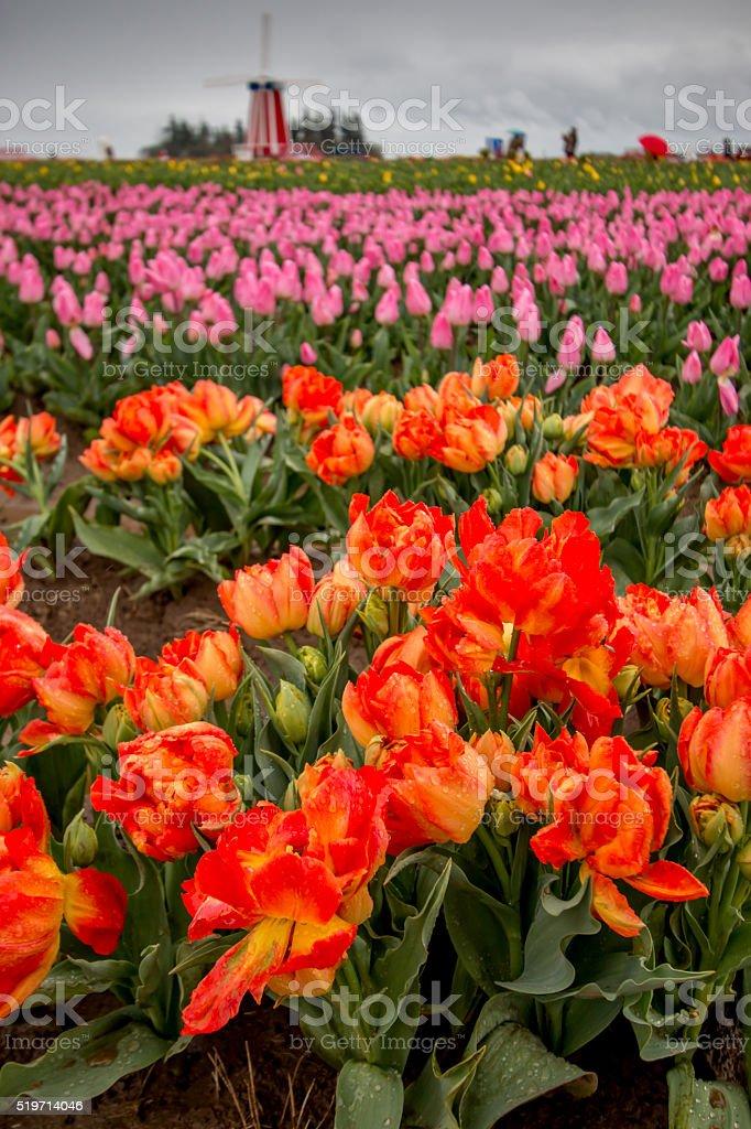 Windmill Among Brilliant Tulips Portland Oregon Farm Fields Spring Flowers stock photo