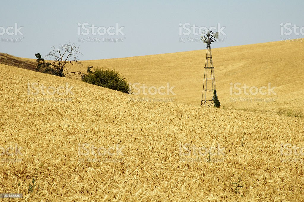 Windmill in a wheat field royalty-free stock photo
