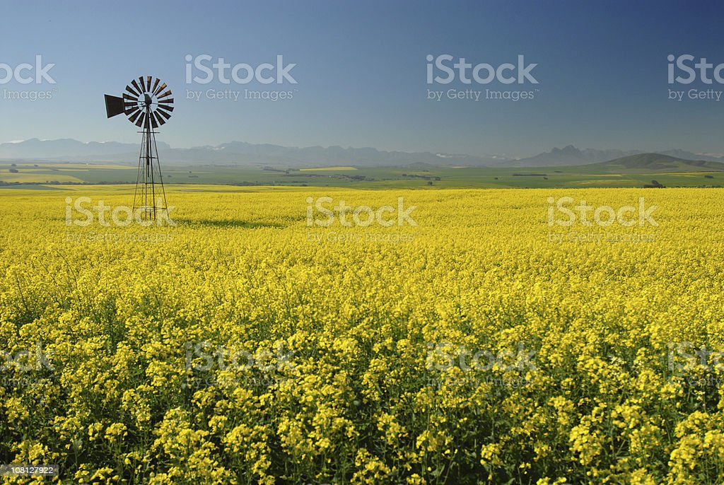 Windmill in Canola(Rape) field stock photo