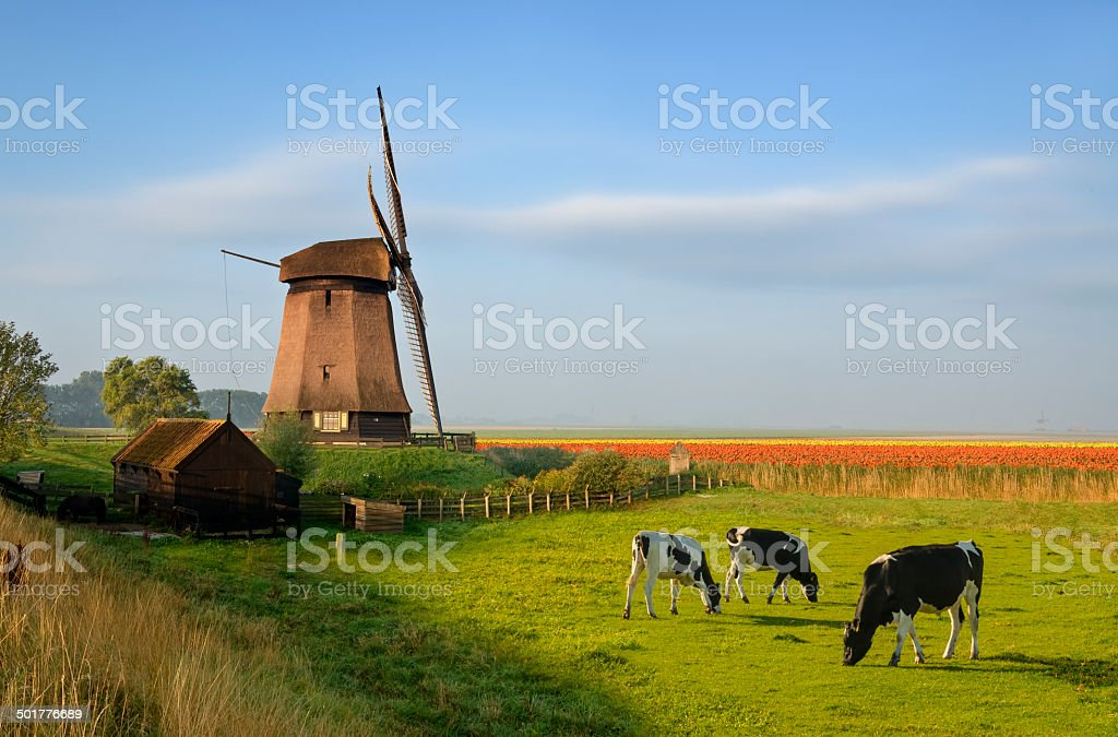 Windmill Tulips and Cows stock photo