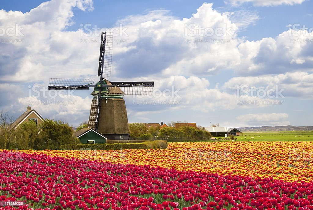 Windmill with field of tulips in Holland stock photo