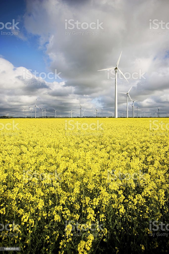 Windmills and canola royalty-free stock photo