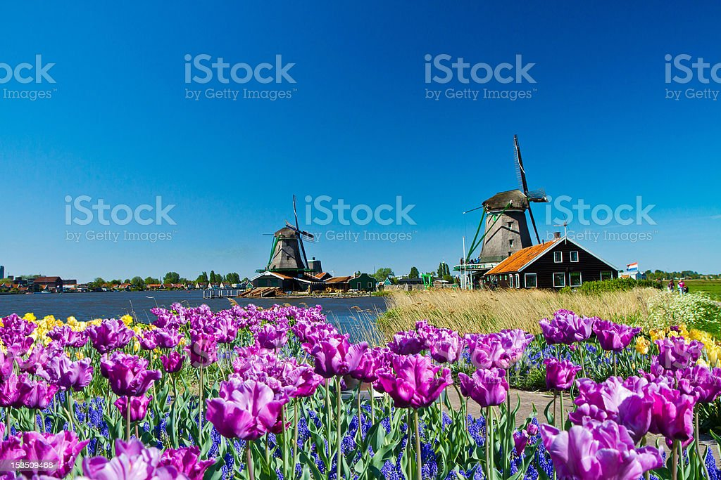 Windmills near flower field in Holland stock photo