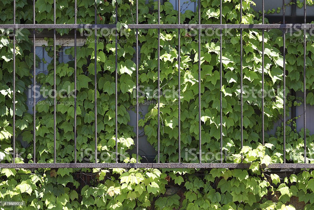 window covered with ivy stock photo