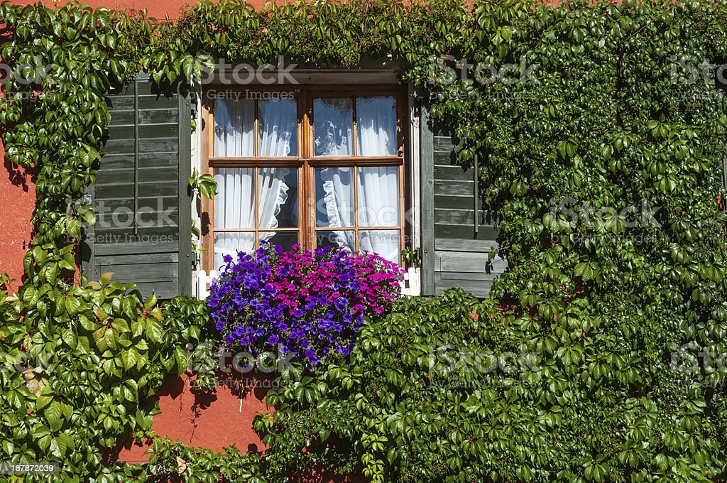 Window covered with Virginia creeper. Meersburg at Lake Constanc stock photo