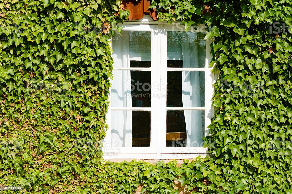 Window in ivy stock photo