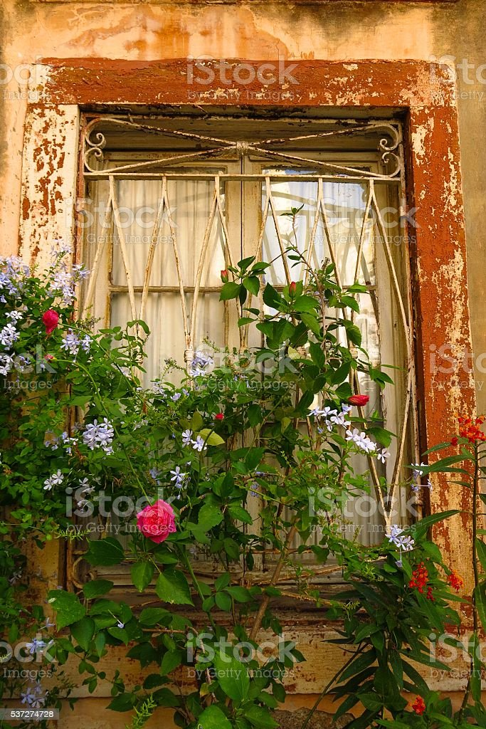 window with peeling paint draped with climbing vines stock photo