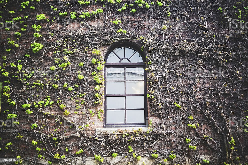 Window with the creeping ivy tree royalty-free stock photo