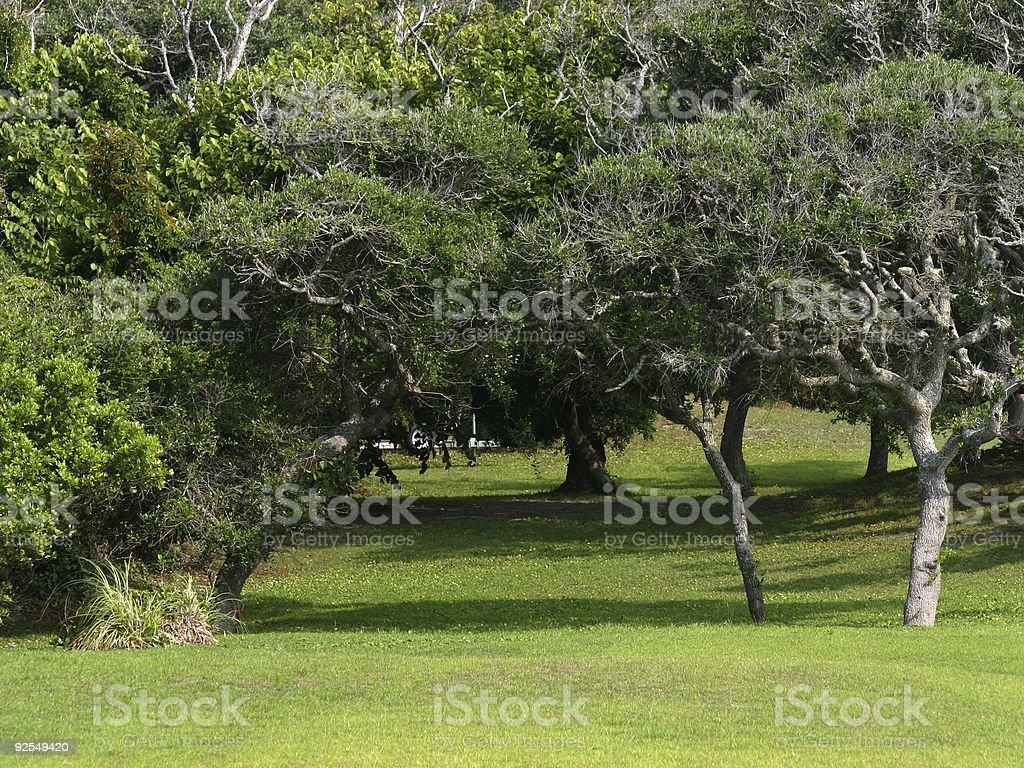 Wind-shaped Yaupon Trees on Topsail Island, NC stock photo
