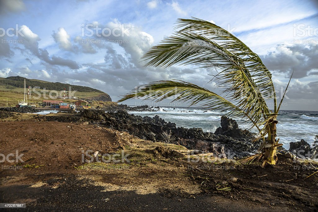 Windswept Palm tree stock photo