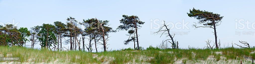windswept pines  at dune area stock photo