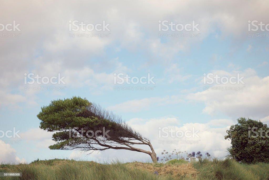 Windswept Pittosporum Nature Background stock photo