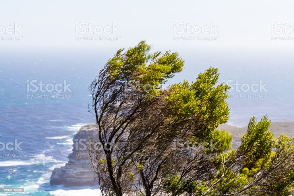 Windswept Tree at Cape Point, South Africa stock photo