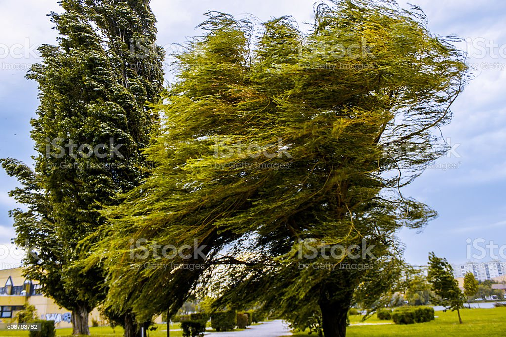 Windswept tree stock photo