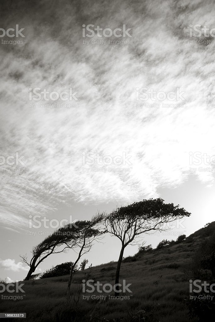 windswept trees on hill royalty-free stock photo