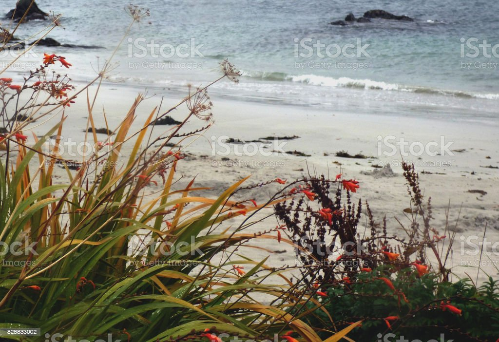 Windswept Wild Flowers and Grasses on the Shore of the Isle of Iona, Scotland stock photo