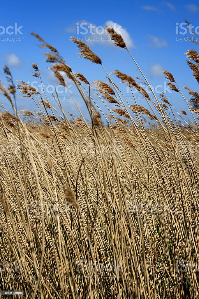 Windy day in the reed beds royalty-free stock photo