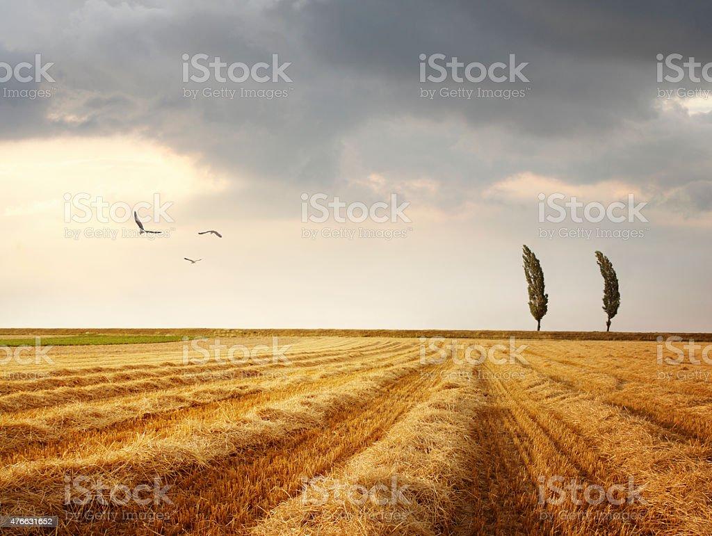 Windy landscape with poplar trees stock photo