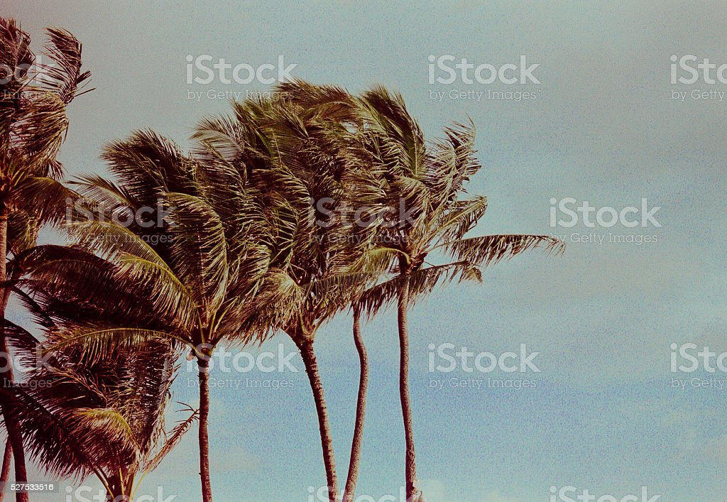 windy palm trees stock photo