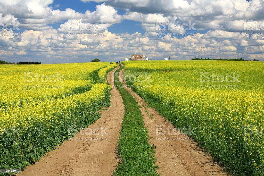 Windy Road Through Canola Field stock photo