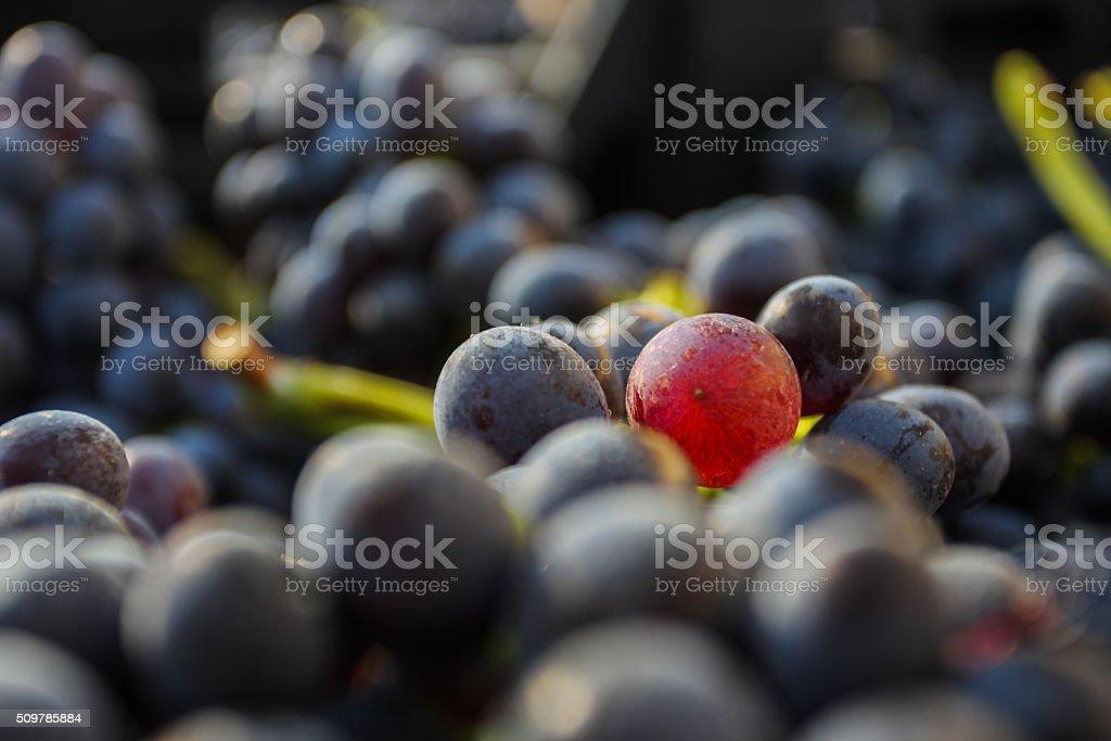 Wine amarone grape in wooden box stock photo