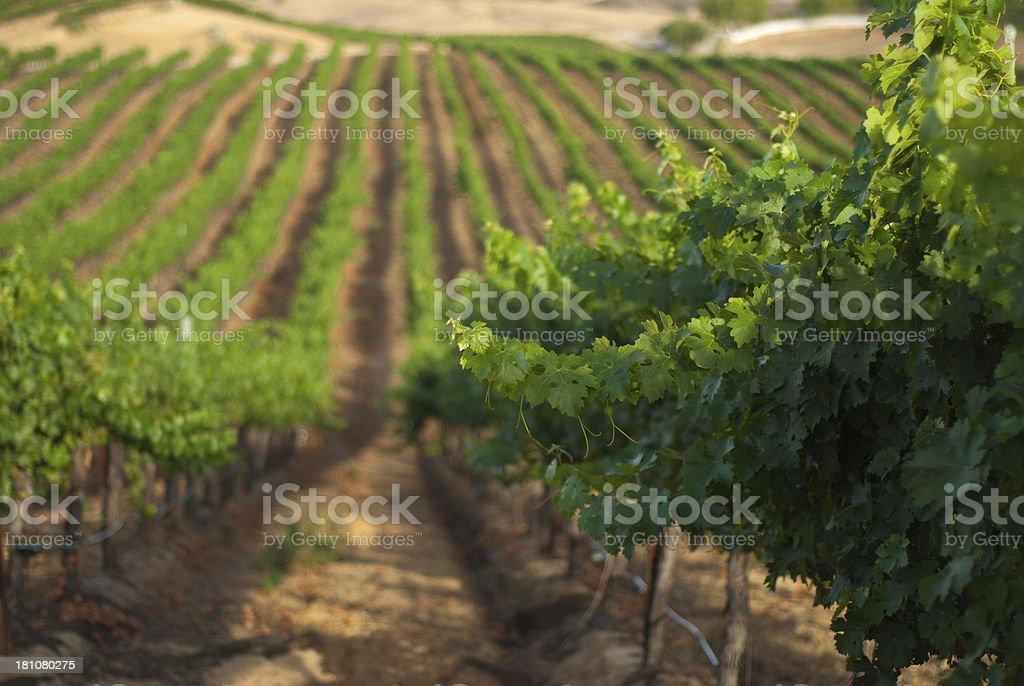 Wine Country vineyard royalty-free stock photo