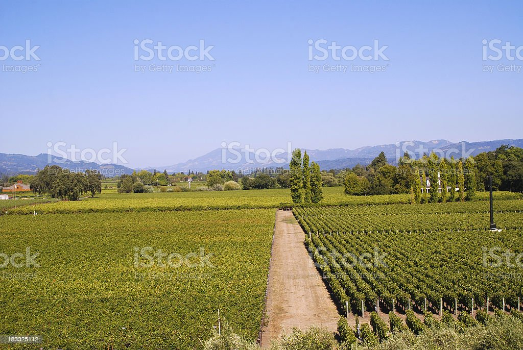 wine crops in toscana stock photo